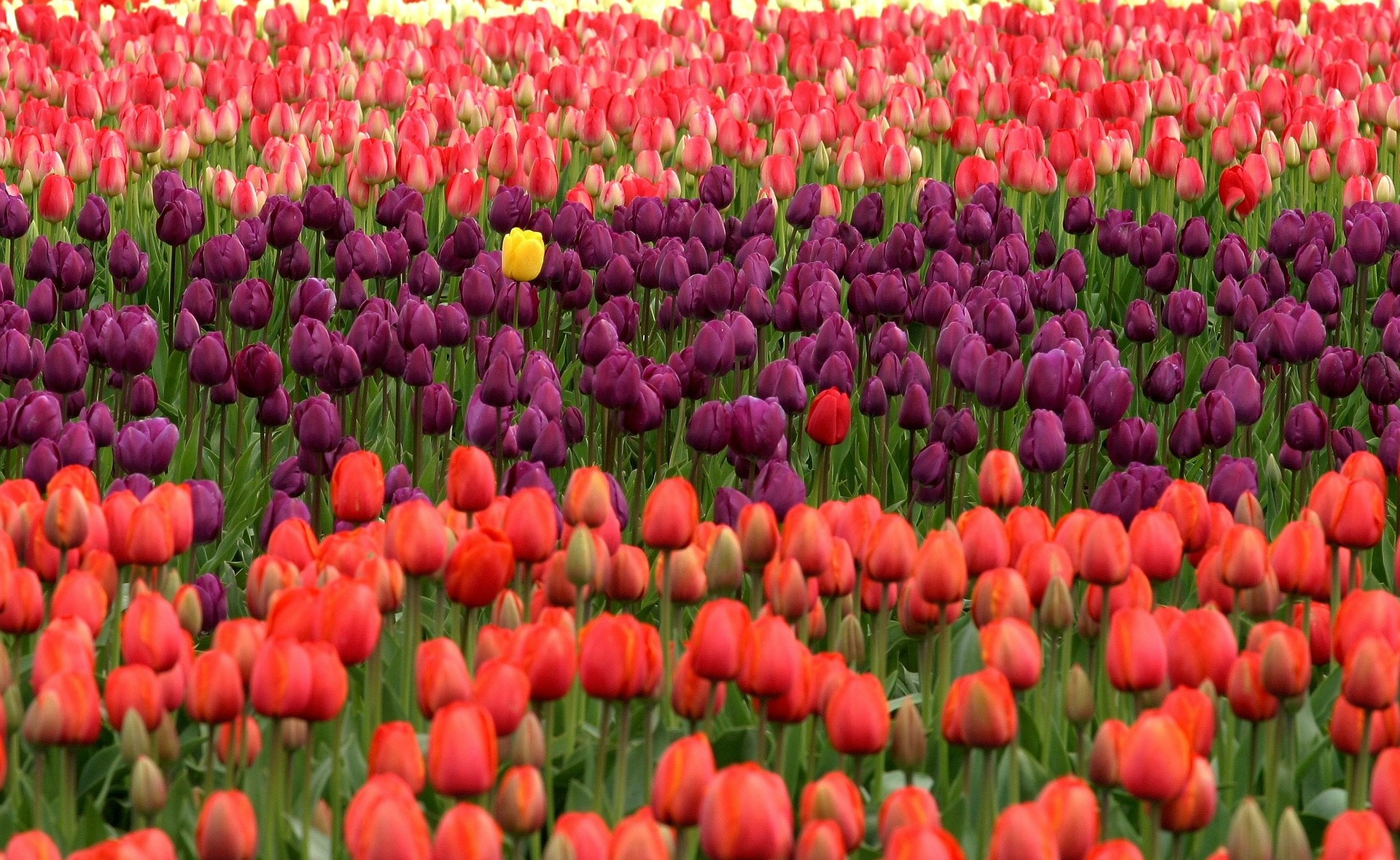 tulips-175605_1920